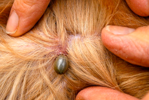 dog infested with ticks