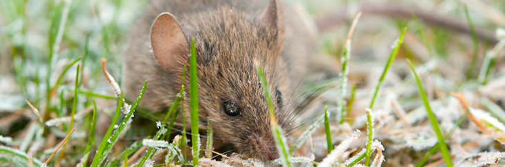 Lawn Care For Rodent Control